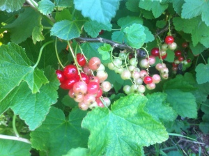 Red currants colouring up nicely.